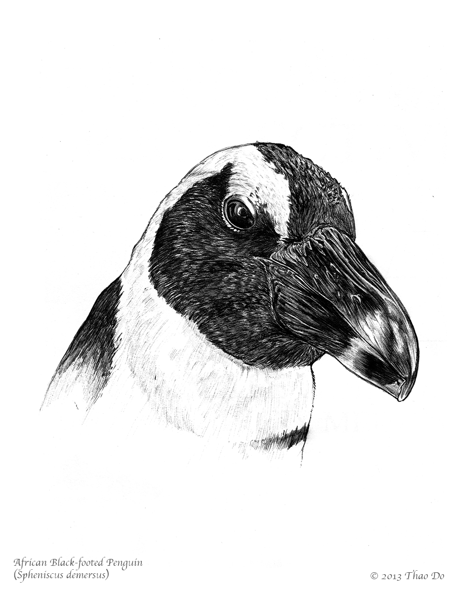 African Black-footed Penguin (Spheniscus demersus)